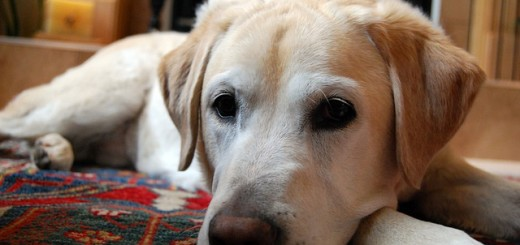 yellow-labrador-retriever-750760_640